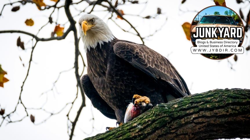Birds & Feathers PC Wallpaper #1 – Bald Eagle – 1366 X768